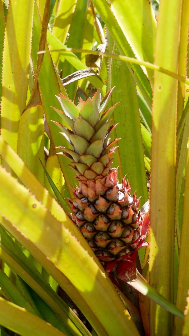 Pineapple on plant
