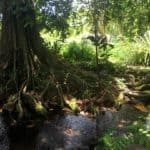 Amazing tree in Tahiti