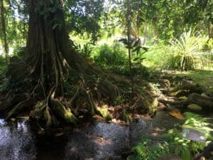 Large tree with large roots by a stream in Tahiti